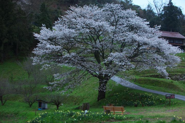 20150404井川の一本桜02