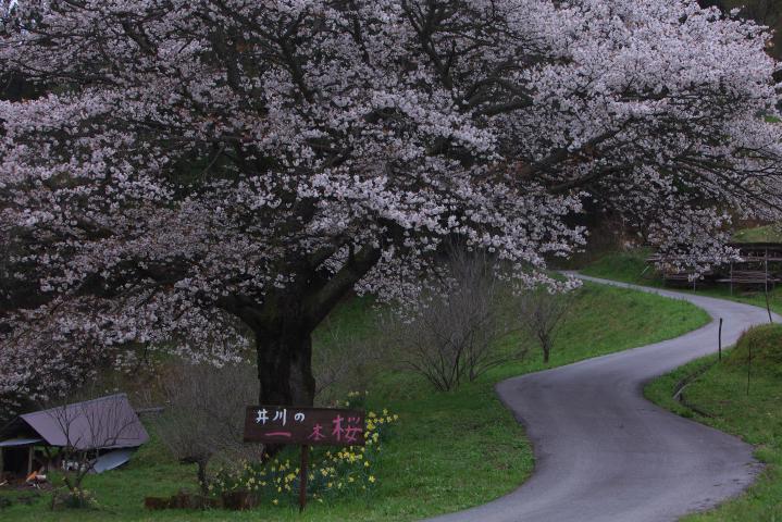 20150404井川の一本桜03
