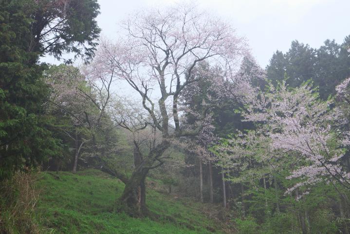20150406向畑の左近桜01