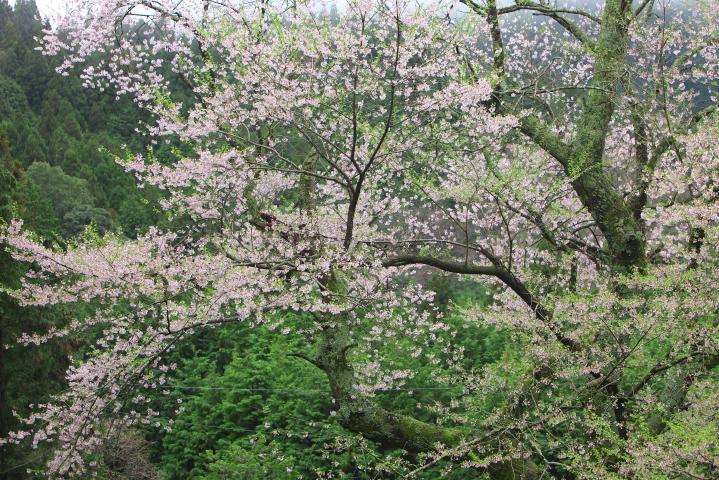 20150406向畑の左近桜06