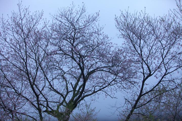 20150406向畑の左近桜07