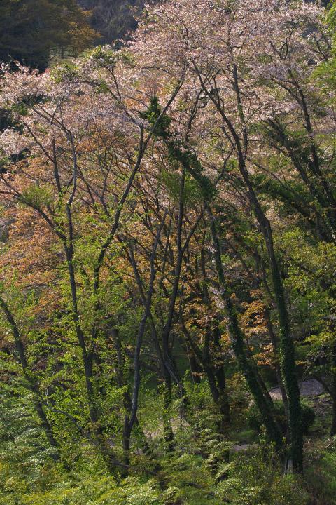20150408黒杭川ダム桜02