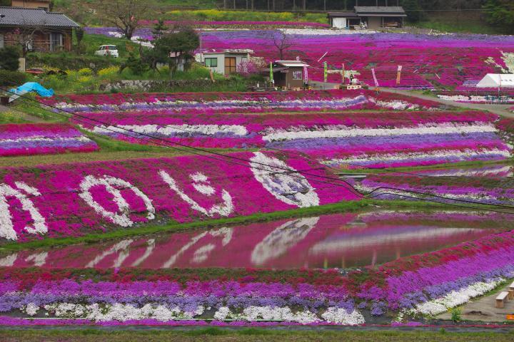 20150416芝桜01