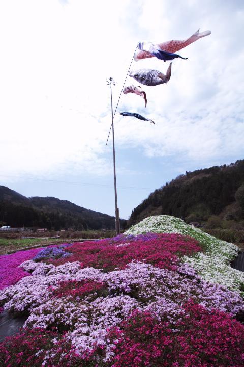 20150418府谷の芝桜01