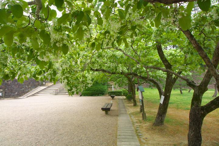 20150515松江城ヒトツバタゴ01