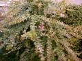 サルスベリ初花