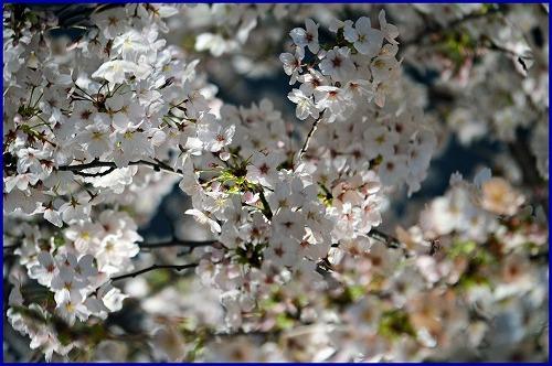 20150402夜桜 (1)