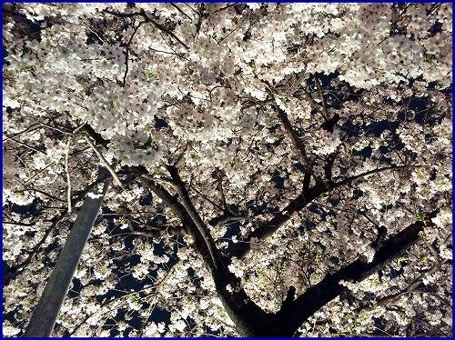 20150402夜桜 (2)