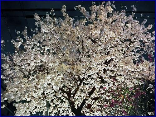20150402夜桜 (3)