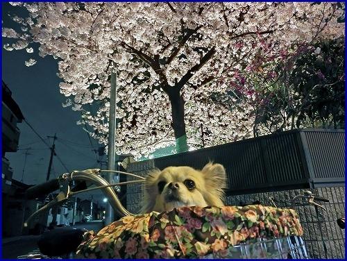 20150402夜桜 (4)