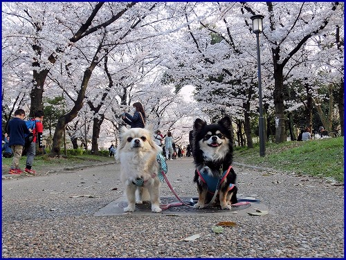 20150331桜 (3)