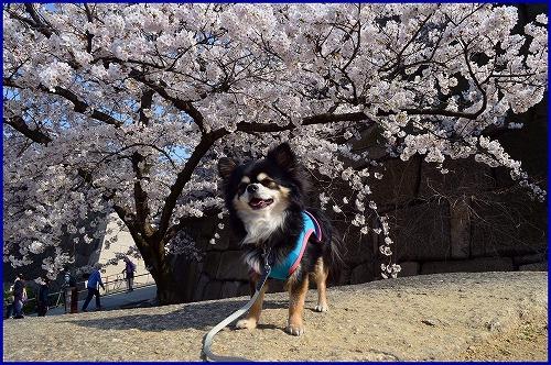 20150331桜 (6)