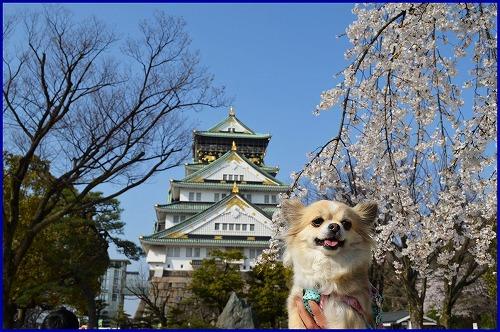 20150331桜 (7)