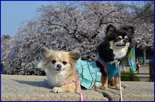 20150331桜 (8)