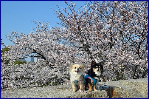 20150331桜 (9)