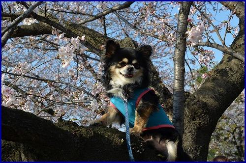 20150331桜 (10)