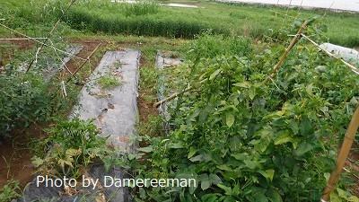 2015.7.3菜園6