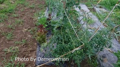 2015.7.3菜園7