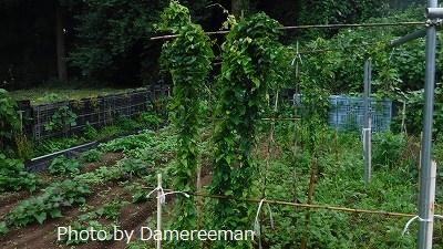 2015.7.4菜園11