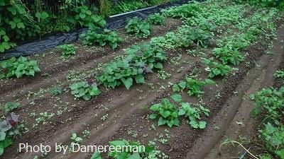 2015.7.4菜園14