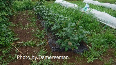 2015.7.4菜園17