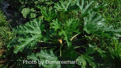 2015.7.10菜園3