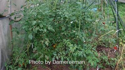 2015.7.11菜園5