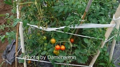 2015.7.12菜園6