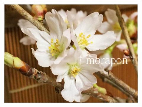 151010 啓翁桜-2