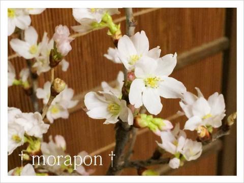 151010 啓翁桜-3
