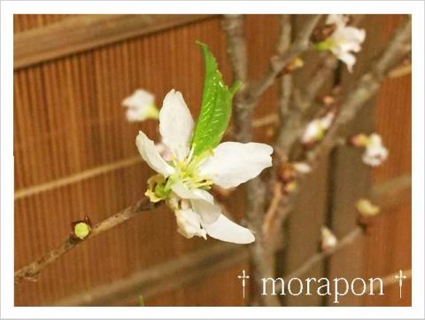 150120 葉桜-2