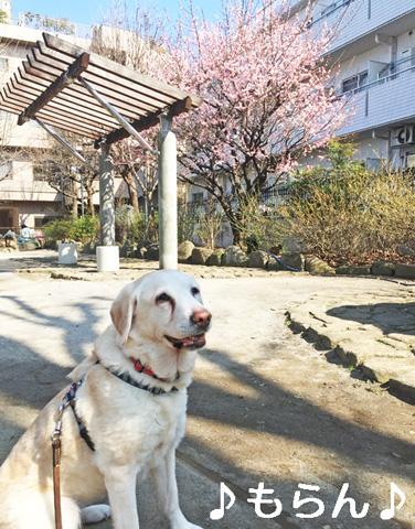 150313 梅は咲いたか 桜は……-1