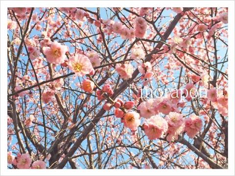 150313 梅は咲いたか 桜は……-2