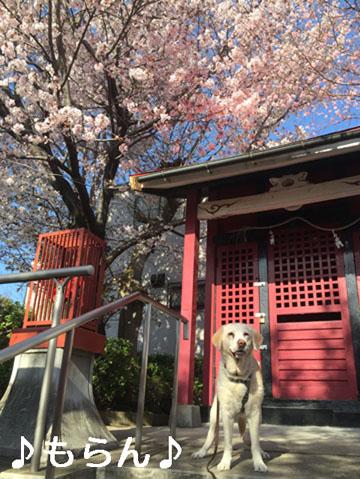 150331 桜が満開♪-1