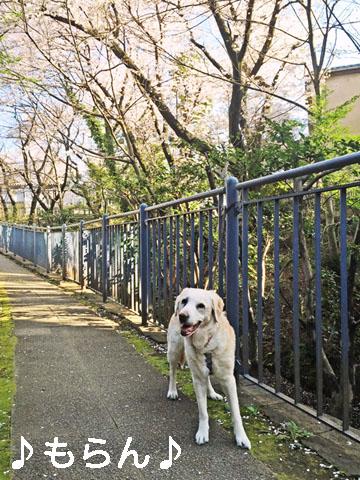 150331 桜が満開♪-2