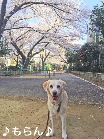 150331 桜が満開♪-3
