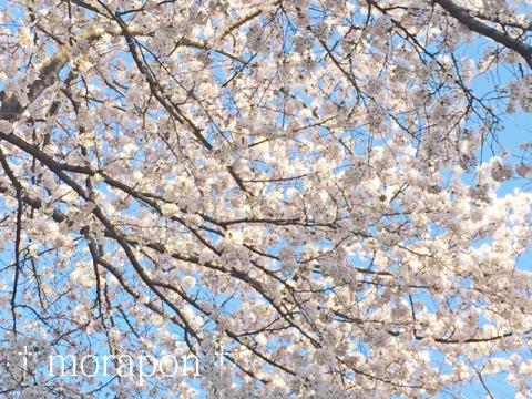 150331 桜が満開♪-4
