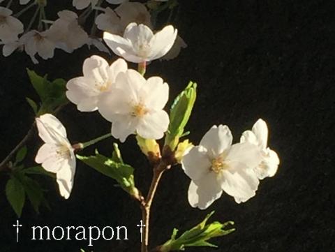 150331 桜が満開♪-5