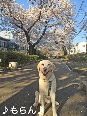 150331 桜が満開♪-6