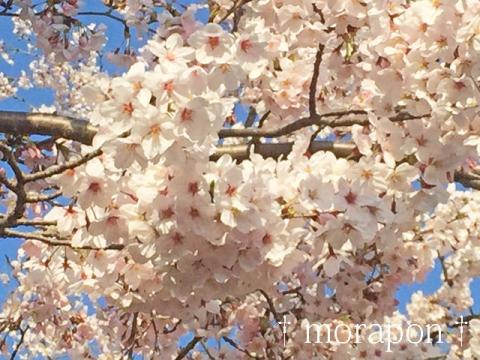 150331 桜が満開♪-7