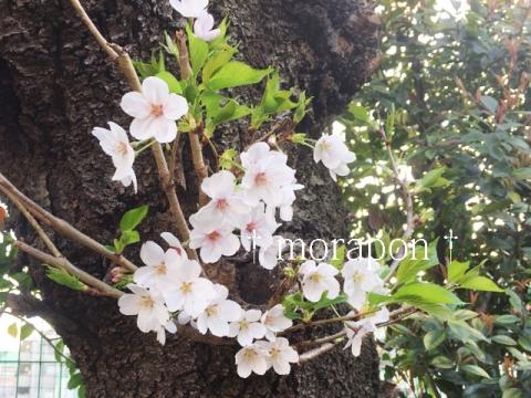 150402 お花見日和-7