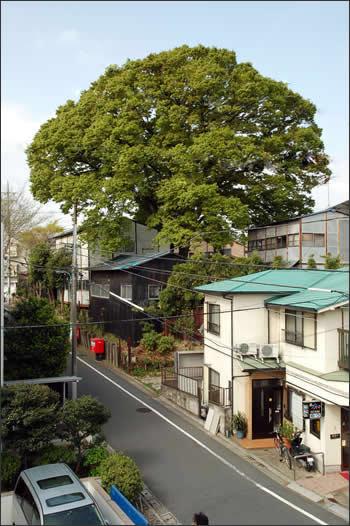 杉並トトロの木