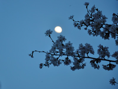 桜と夕方の月
