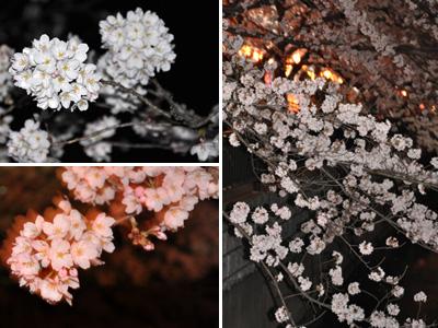 土手の夜桜 1