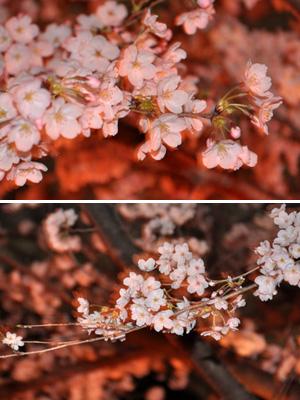 土手の夜桜 2
