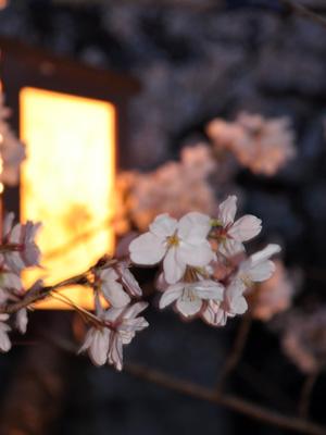土手の夜桜 3