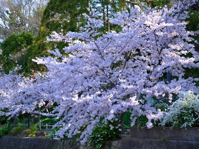 朝の桜 #1