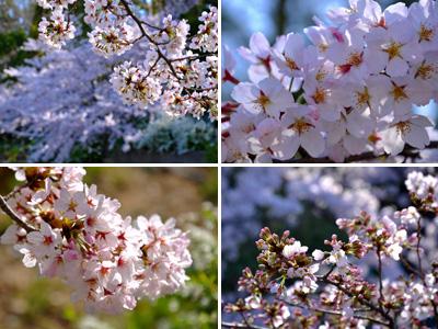 朝の桜 #2