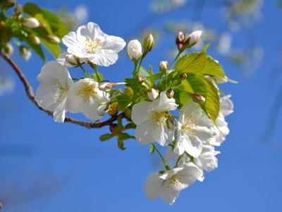 朝の桜 #3