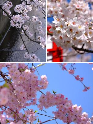 朝の桜 #4